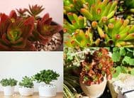 Crassula 25 Seeds, Mixed Varieties - Create/Expand Your Collection with Many Var